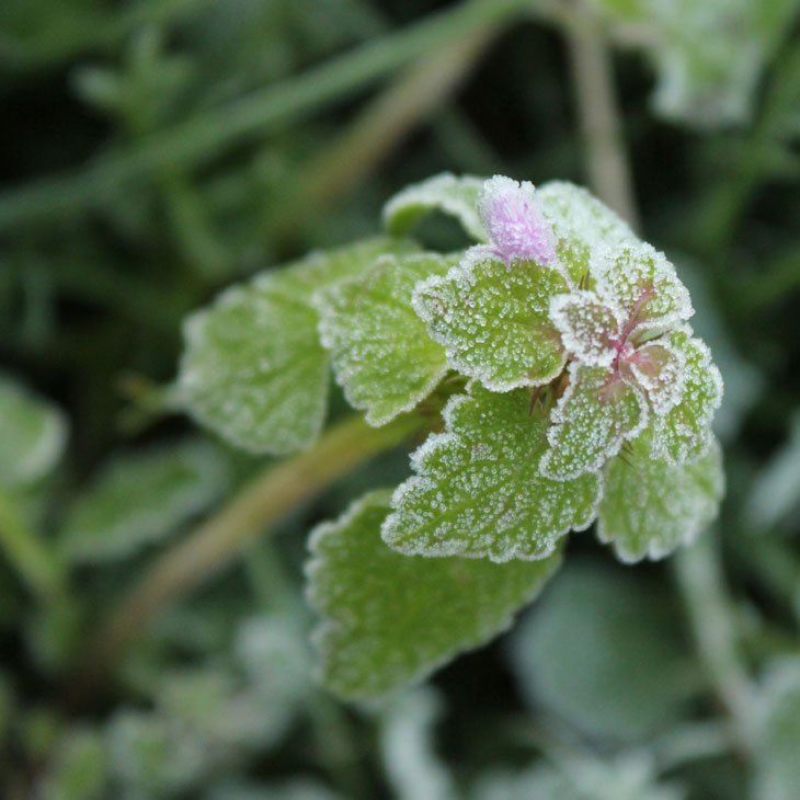 JC_IMG_1173_Wildflower A Fantastically Frosty Macro Morning