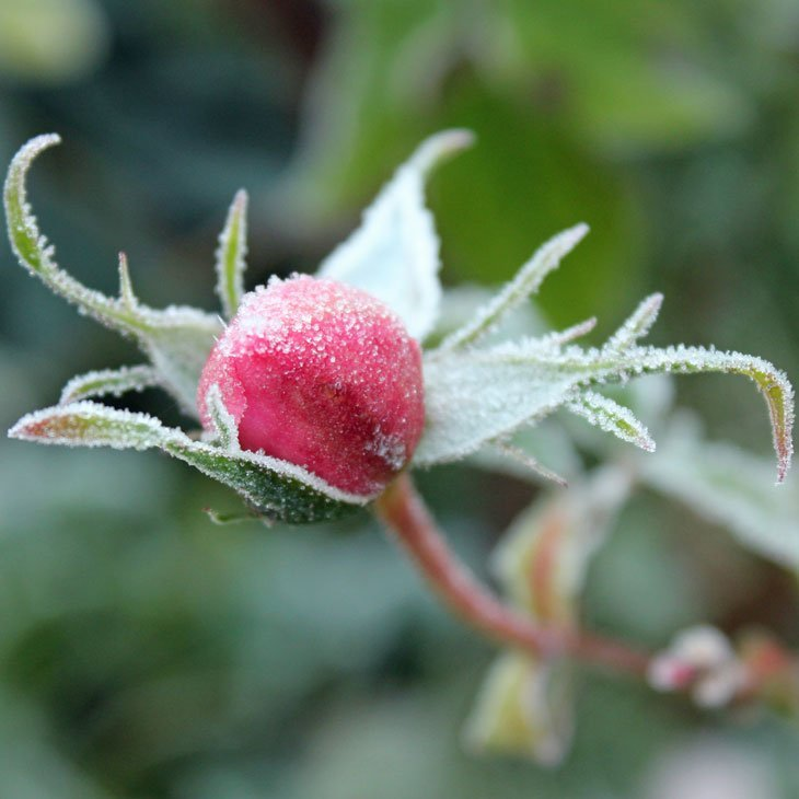 JC_IMG_1183_Rosebud A Fantastically Frosty Macro Morning