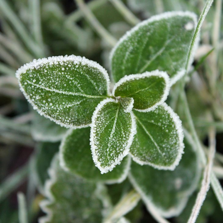 JC_IMG_1194_Nettle A Fantastically Frosty Macro Morning