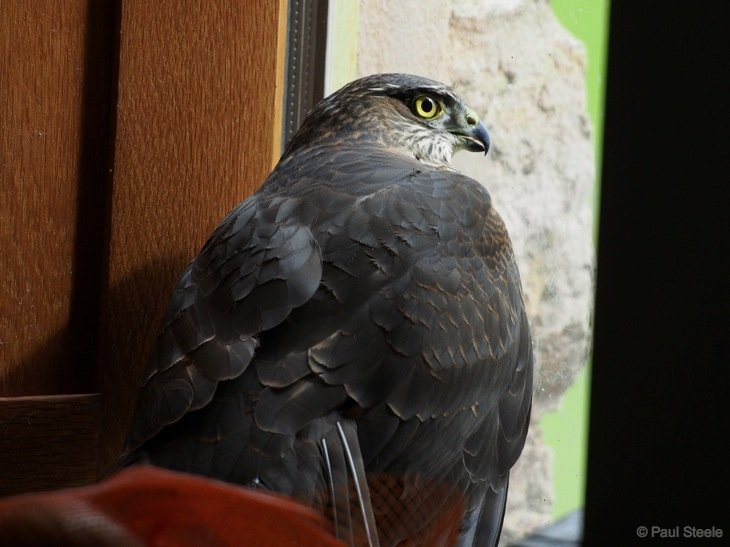 A Sparrowhawk in the kitchen!
