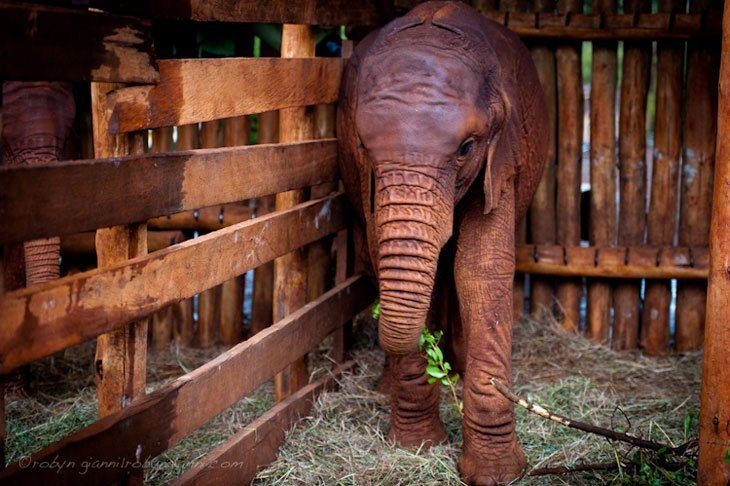 Kenya Elephants Orphans 4 Healing The Hearts Of Kenya's Orphans
