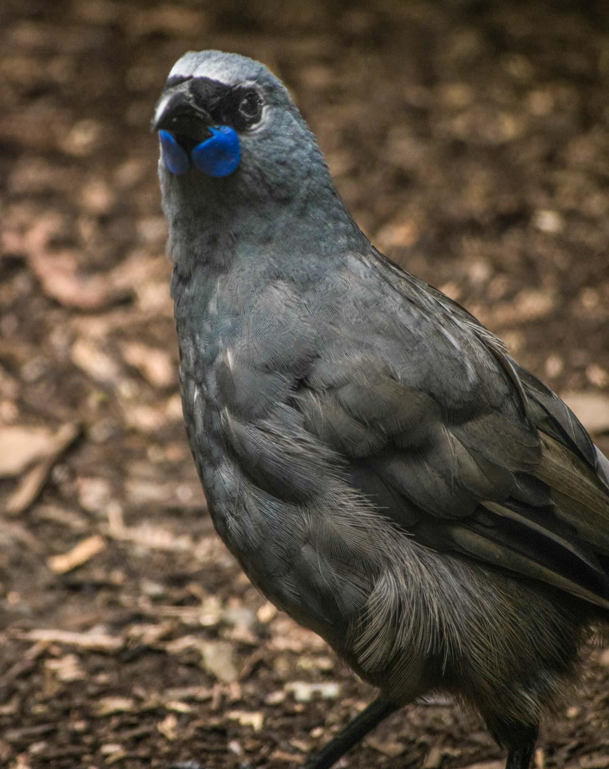 Kokako Pukaha Mount Bruce: National Wildlife Centre, New Zealand