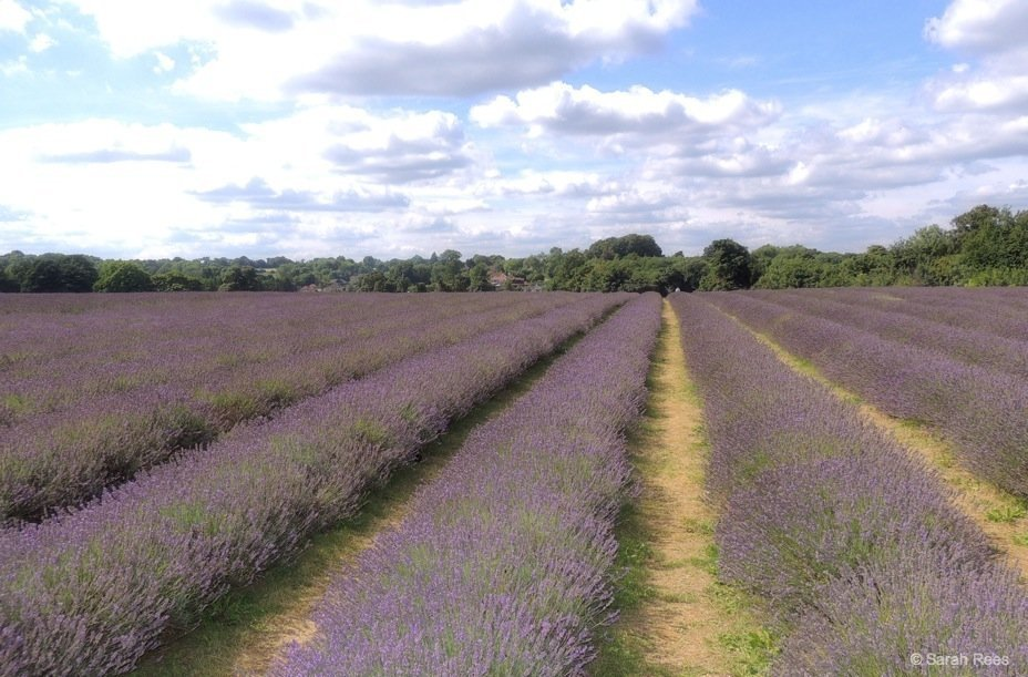 Lavender-1_beautiful-britain A Lavender Escape