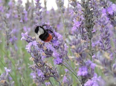 A Lavender Field Escape - A Good Summer Vibe