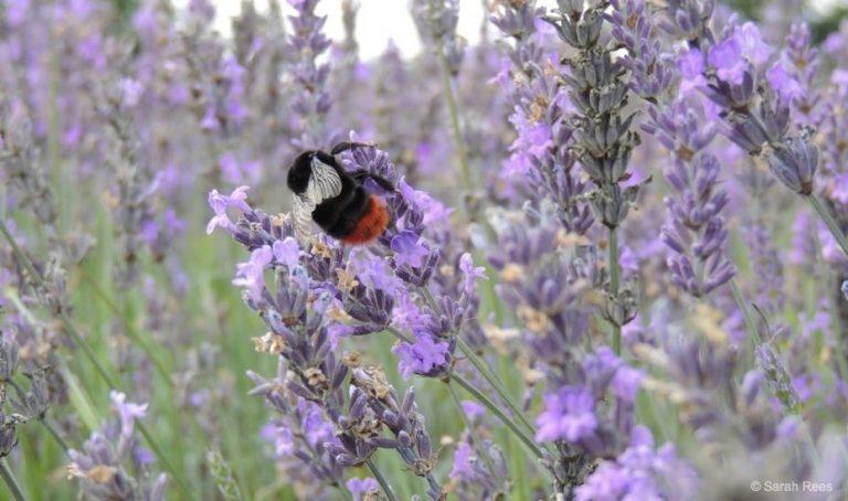 A Lavender Field Escape – A Good Summer Vibe