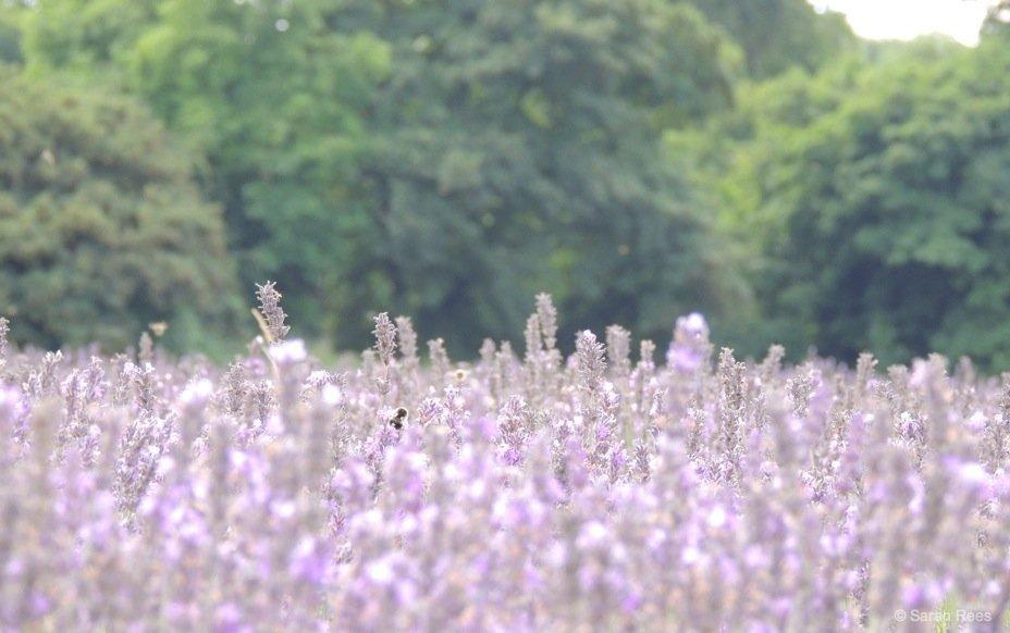 Lavender-6_beautiful-britain A Lavender Escape
