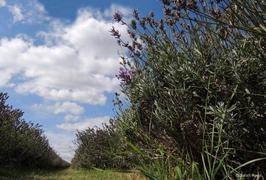 Lavender-7_beautiful-britain A Lavender Escape