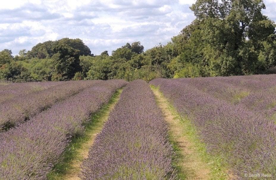 Lavender-9_beautiful-britain A Lavender Escape