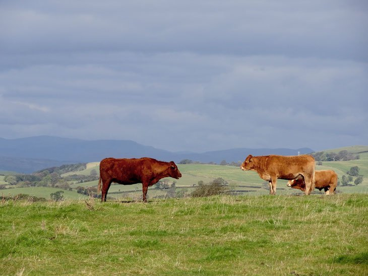 The Limestone Link Cows