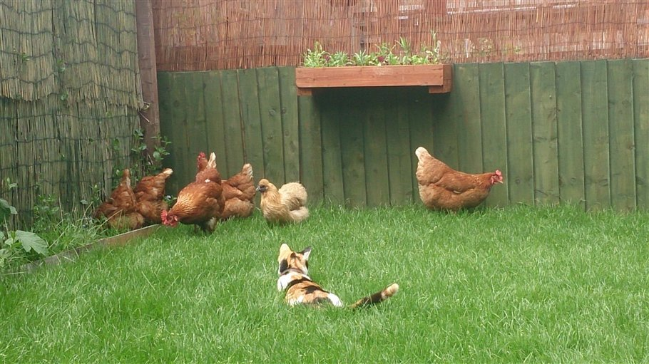 Little Gem and the hens- animals - Copy