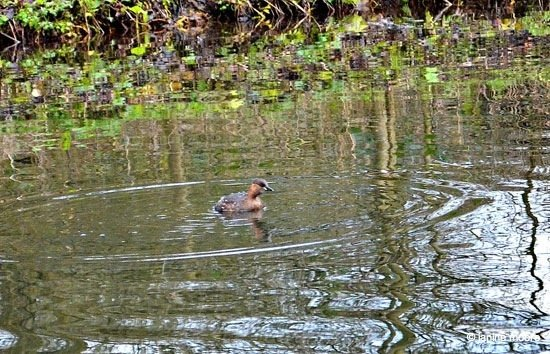 Little-Grebe High Peak Junction in the Derwent Valley