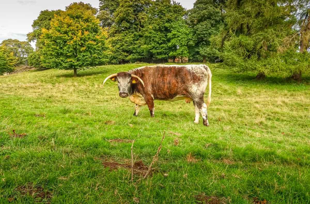 Longhorn-cattle_ Calke Abbey Ancient Parkland Walks Through the Seasons
