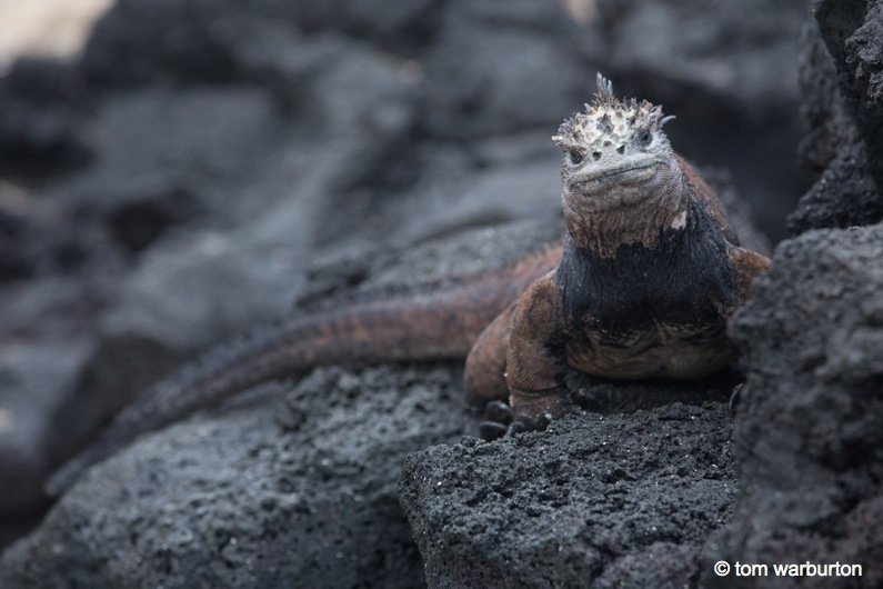 Marine-Iguanas-2-galapagos Galapagos, Ecuador: Marine Iguanas – Darwin's Imps of Darkness