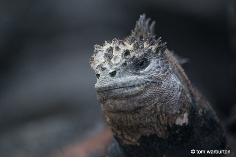 Galapagos, Ecuador: Marine Iguanas – Darwin's Imps of Darkness