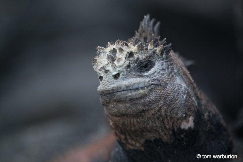 Galapagos, Ecuador: Marine Iguanas – Darwin's Imps of Darkness