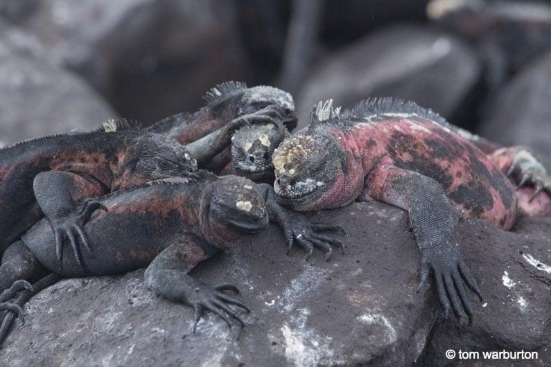 Marine Iguanas-5- galapagos