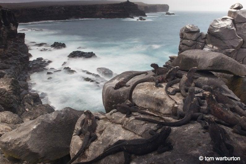Marine-Iguanas-6-galapagos Galapagos, Ecuador: Marine Iguanas – Darwin's Imps of Darkness