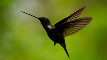 Brown Inca Humming Bird (Colieligena wilsonii)
