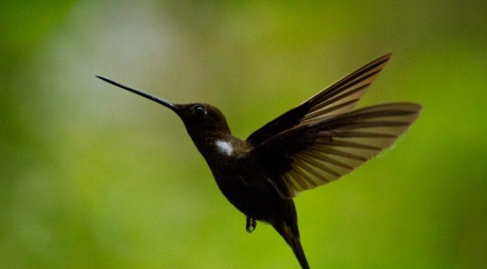 Brown Inca Humming Bird (Colieligena wilsonii)