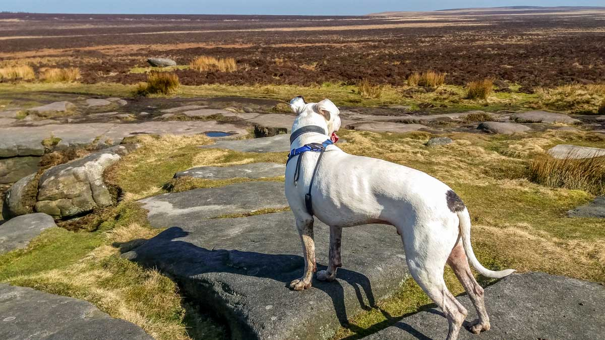 Max-looks-across-the-vast-moorland Stanage Edge and Robin Hoods Cave – A Stroll in the Peak District