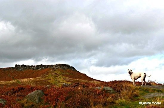 Max-on-the-moor-near-Carl-Wark A Tranquil Walk on Hathersage Moor