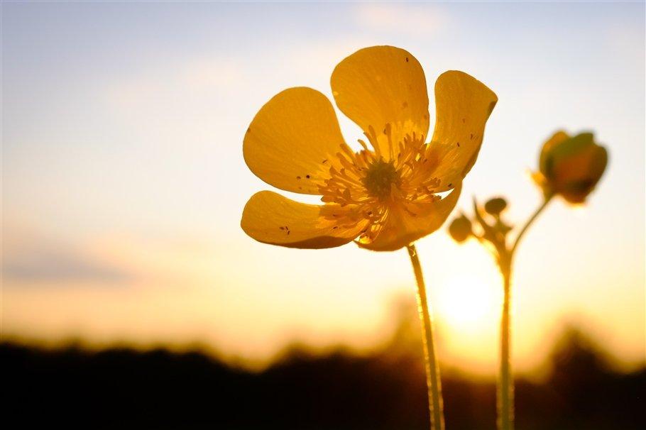 Meadow Buttercup - Ranunculus acris- flowers