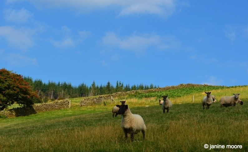 More-Crazy-Sheep-wales The Legend of the Welsh Black Mountains