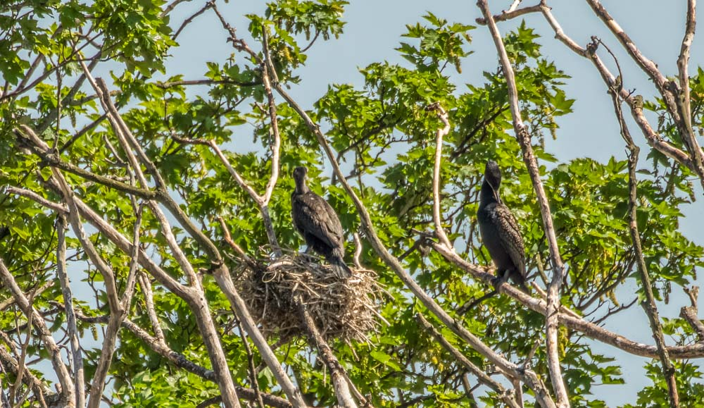 Nesting-Cormorants Walthamstow Wetlands: Wild London