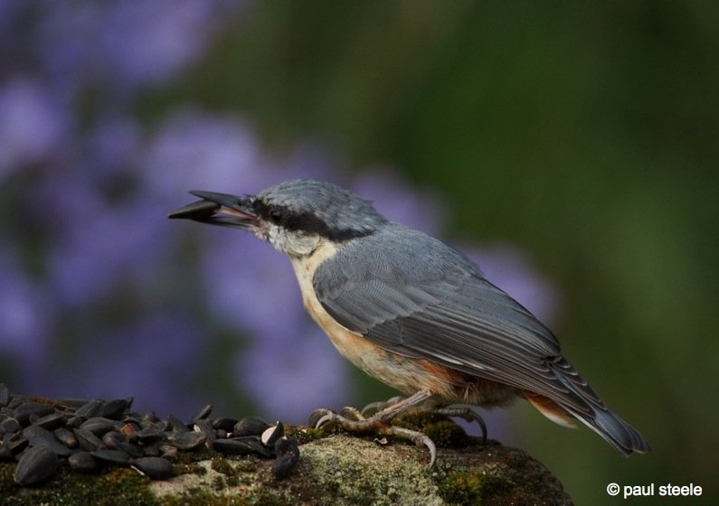 The Nuthatch grabs the nut