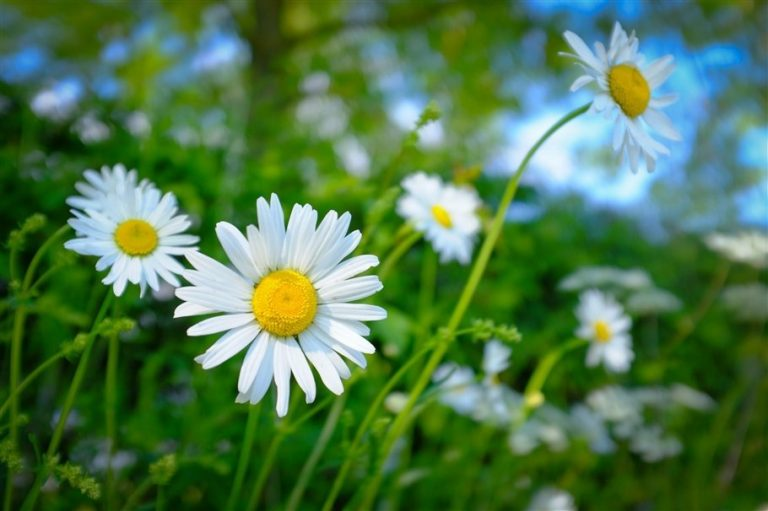 Ox-Eye Daisy - Leucanthemum vulgare- flowers