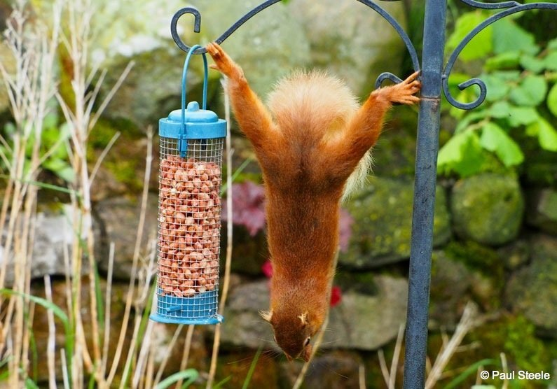The hanging squirrel