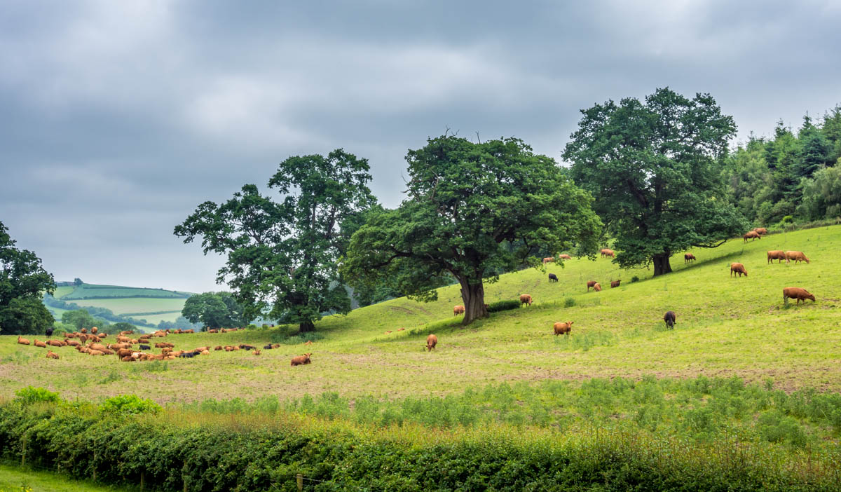 cows and trees
