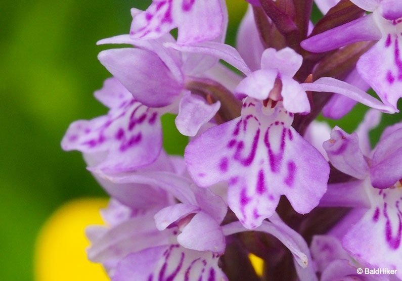 Where the Wild Orchids grow