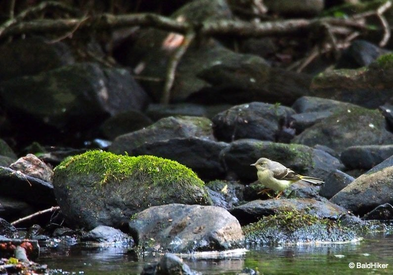 P7011100 The Grey Wagtails by the riverside