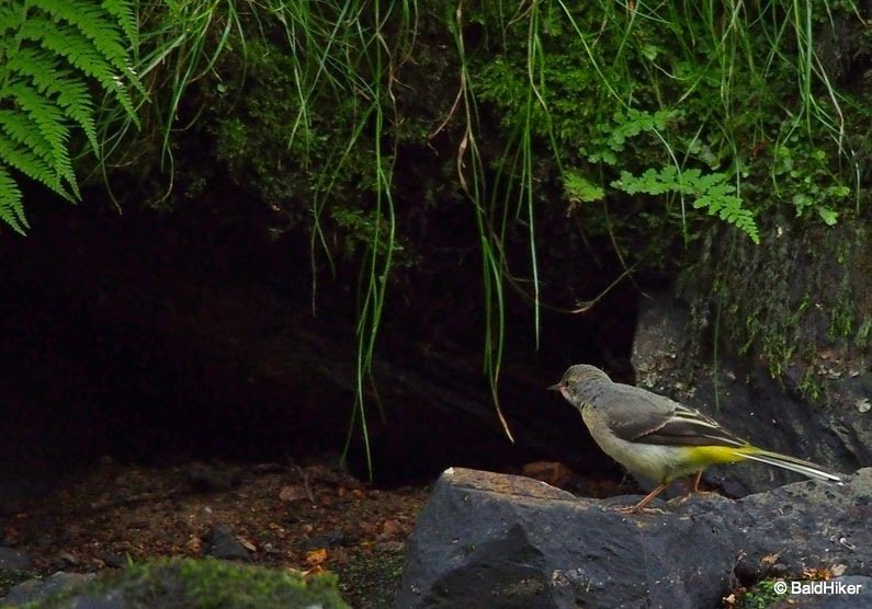 P7011123 The Grey Wagtails by the riverside