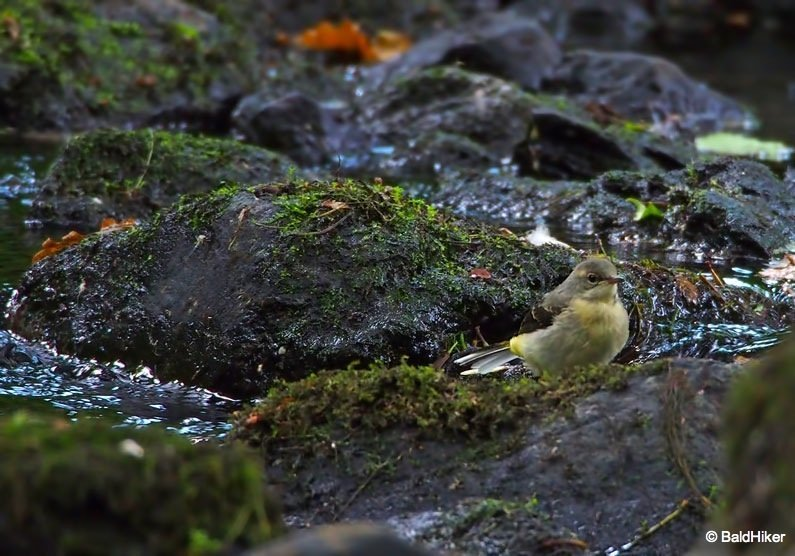P7011136 The Grey Wagtails by the riverside