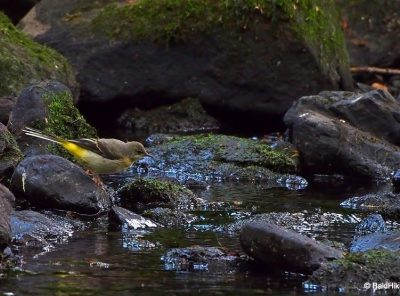 The Grey Wagtails by the riverside