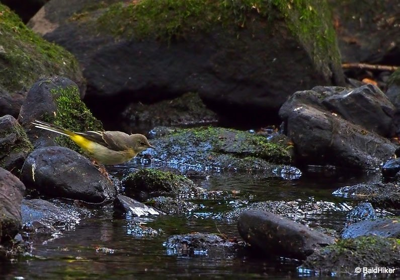 The Grey Wagtails by the riverside 1