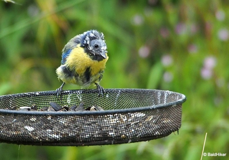 P7031252 The Bald Blue Tit