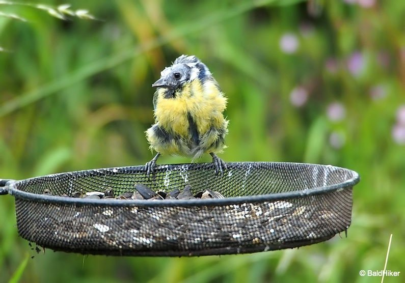 P7031254 The Bald Blue Tit