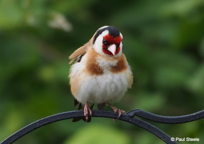 The resting Goldfinch