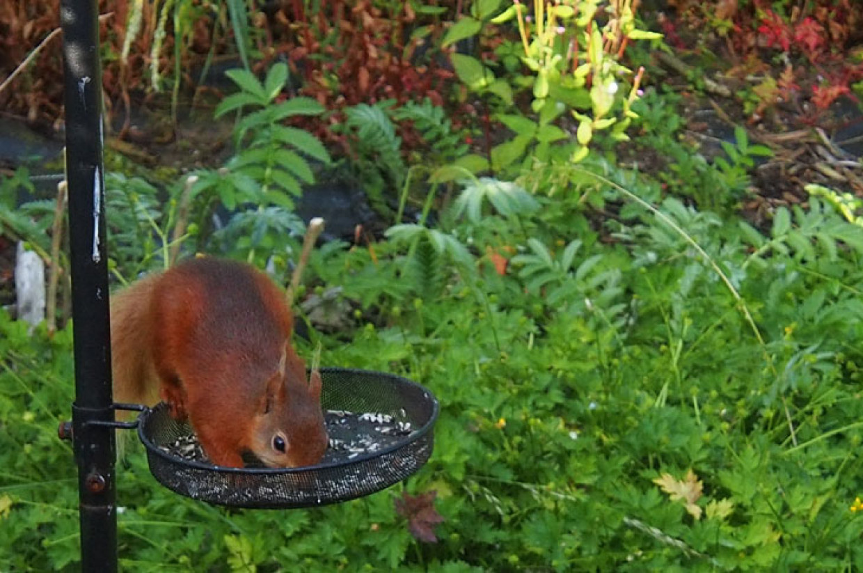 The red squirrel morning visit