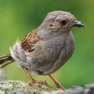 The daydreaming Dunnock