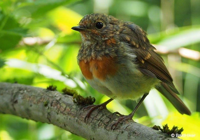 P8091878-Robins The Tame Robins