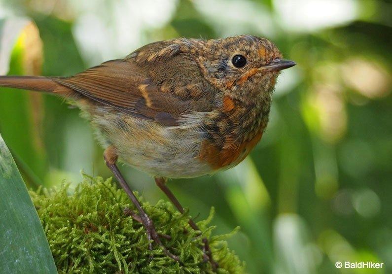 P8091887-Robins The Tame Robins
