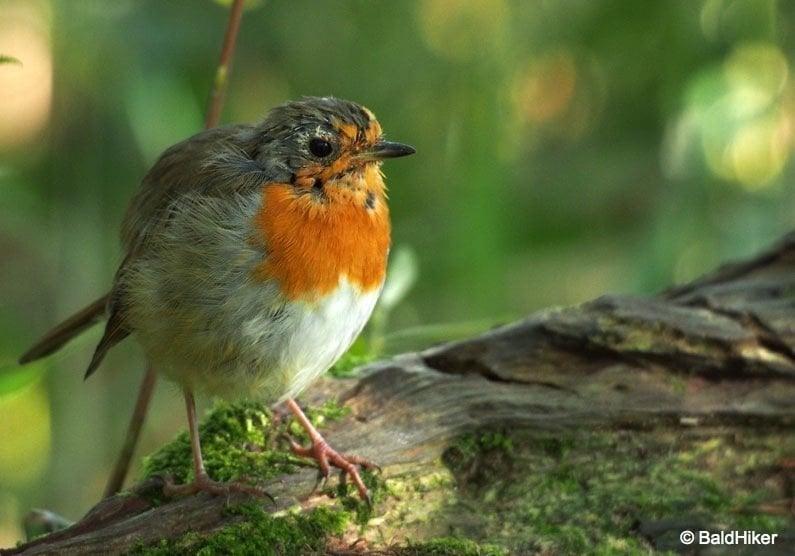 P8091985-Robins The Tame Robins