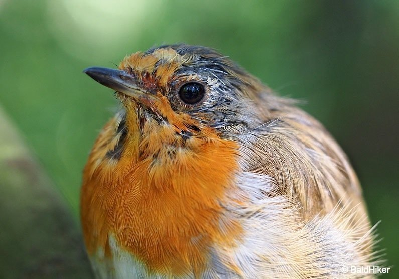 The Tame Yet Fierce Robins