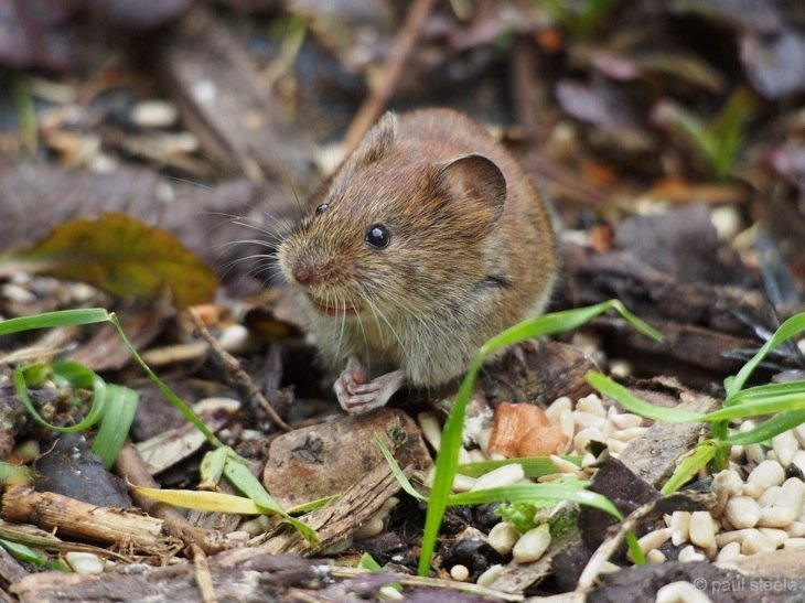 The mouse at the bottom of the garden 1