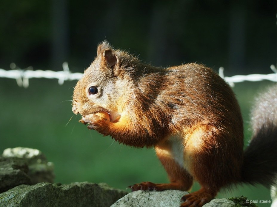 Time with the red squirrels of Eden Valley, Cumbria