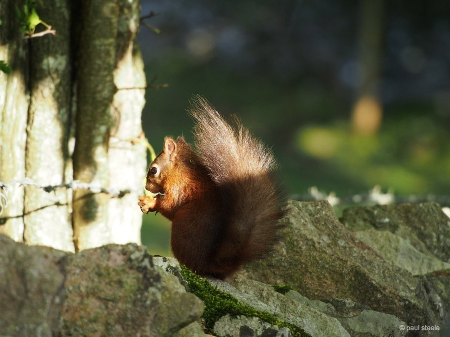PA170110 red squirrels Time with the red squirrels of Eden Valley, Cumbria